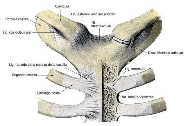 La clavícula y el hombro