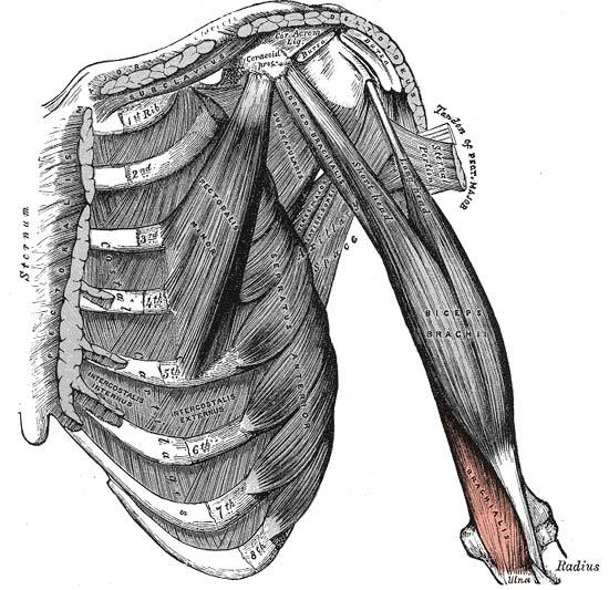 Los orígenes del bíceps