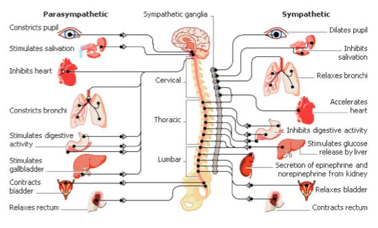 El masaje y el sistema nervioso