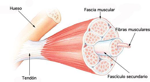 El músculo