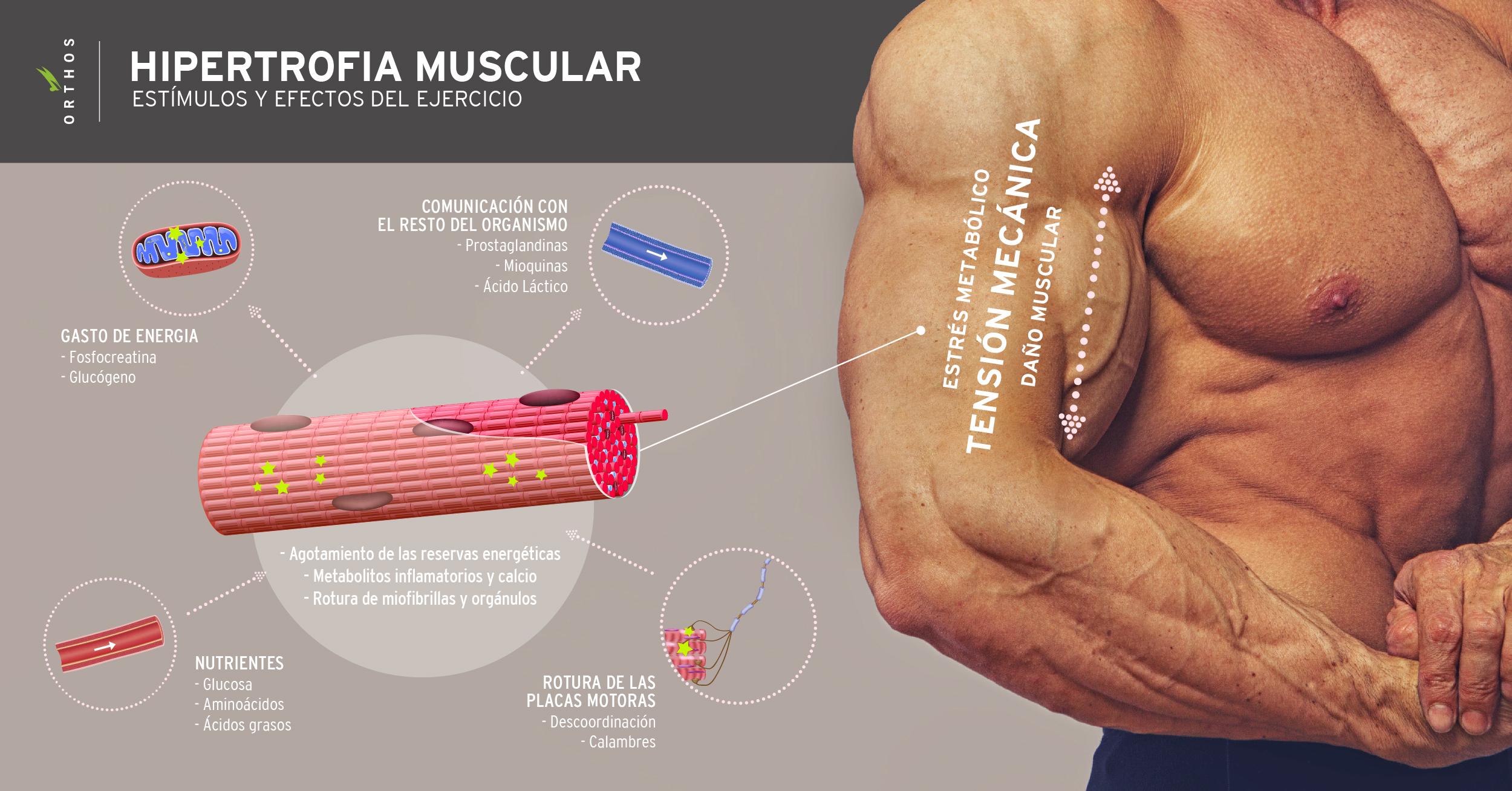 Enseñanza Orthos. Escuela de formación Deportiva. Hipertrofia muscular