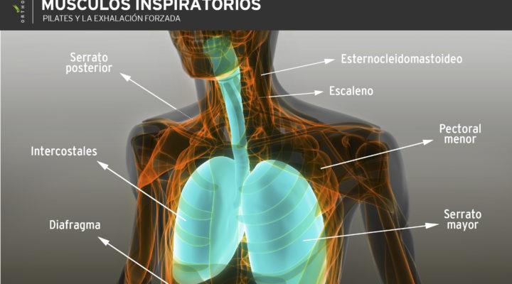 musculos-inspiratorios-pilates
